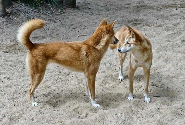 Dingo – pes, který komunikuje s duchy