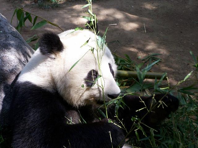 Panda velká sedící