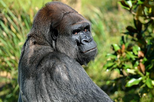 Gorila v přírodě.jpg